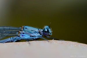 Male Azure Damselfly Eye - West Fork: Trail 108 [06